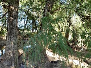 Taxodium mucronatum, Montezuma bald cypress