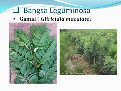 leguminosa,tanaman leguminosa,plants