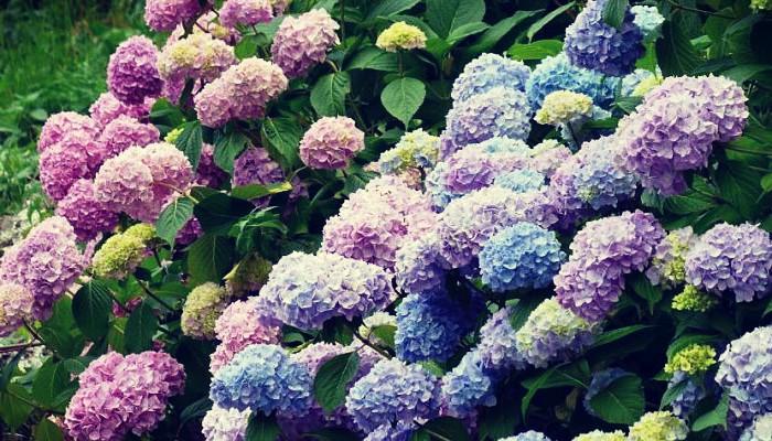 Mantener las hortensias bellas