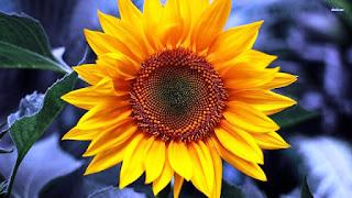 Gambar Bunga Matahari Paling Indah 200019_Sunflower