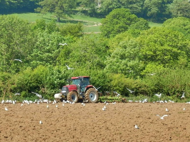 Tractor ploughing field followed by seagulls.