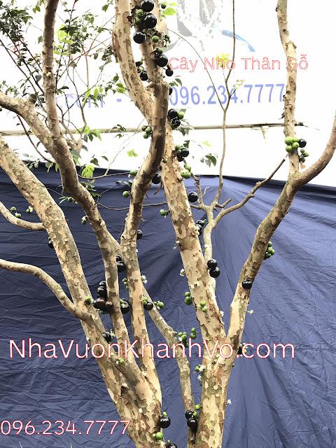 Nho thân gỗ - một loại cây đang được giới doanh nhân săn lùng