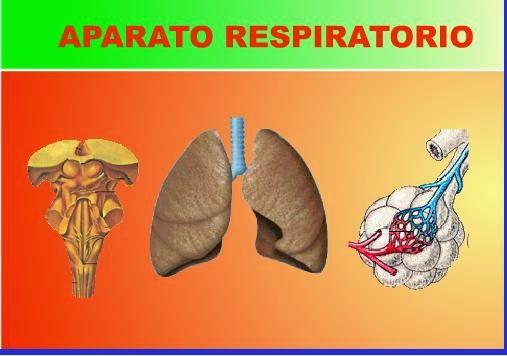 http://www.ceiploreto.es/sugerencias/averroes/manuelperez/udidacticas/udanatomia/respiratorio/entrada/entrada.htm
