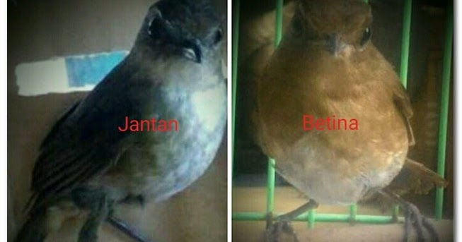 18 Gambar Burung Jongkangan Jantan Dan Betina Gambar Spesial