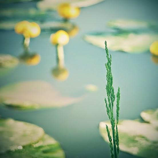 Il giardino acquatico delle ninfee a figino rose semplici - Giardino delle ninfee ...