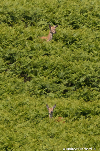 A hind stands in an elevated position above a calf, both looking out from the bracken at something.