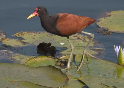 Jacana - Animals That Start With J