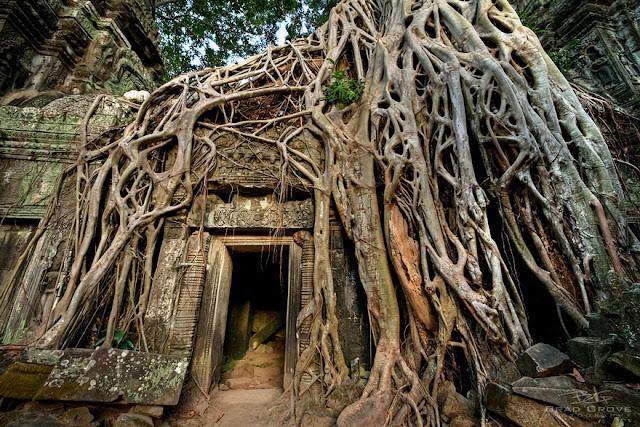 الجذور تغطي ملامح مدينة انكور، كمبوديا