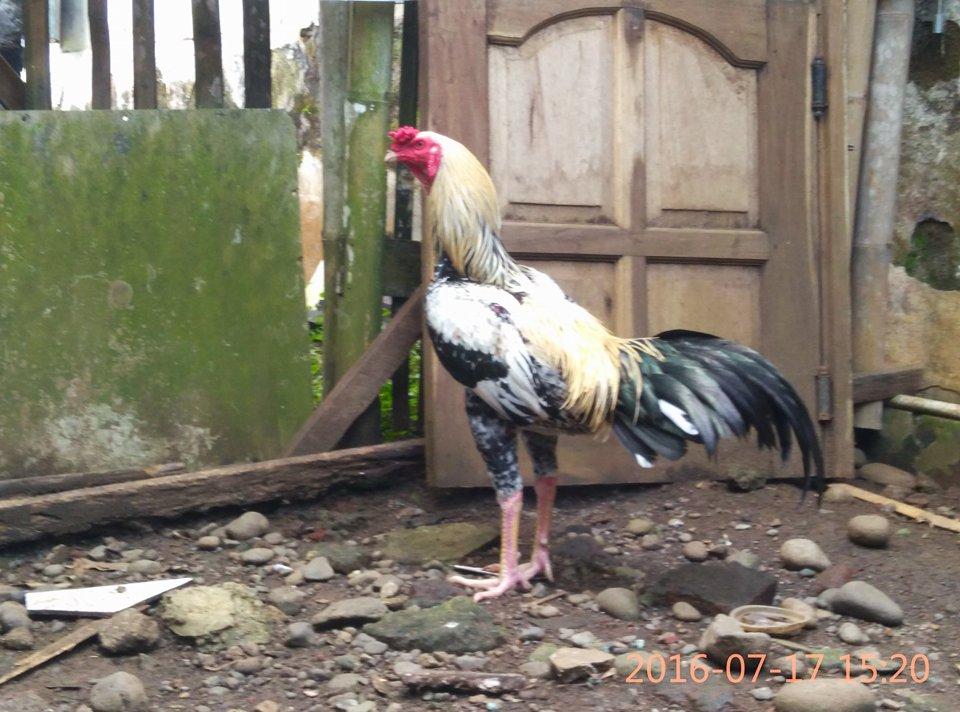 Nutrisi Apa Saja Yang Dibutuhkan Untuk Ayam Bangkok