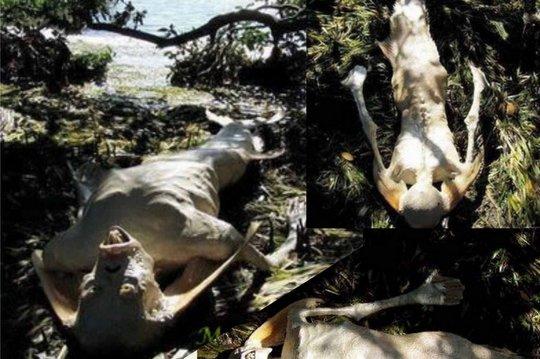 Fotos da Sereia de Manaus caem na mão do Boto Cor-de-rosa e da Boiúna Cobra Grande, antes do Festival de Parintins.