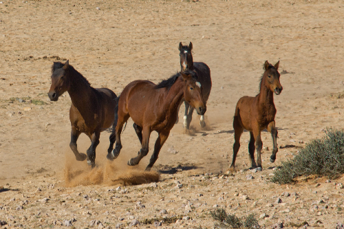 Origin of the Namib Desert horses remains a mystery