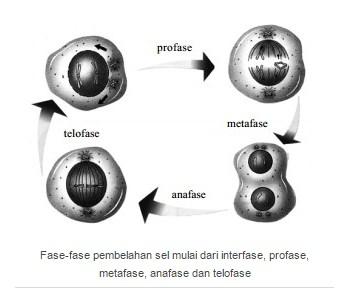 Fase pembelahan sel