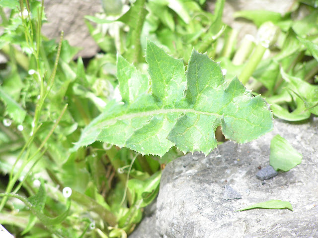 sow thistle edible weeds