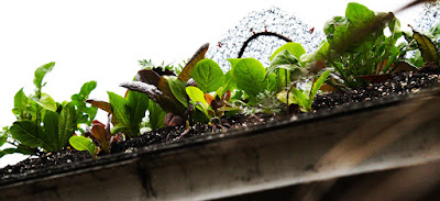 Growing Veggies On A Roof - Green Roofs For Urban Sustainability