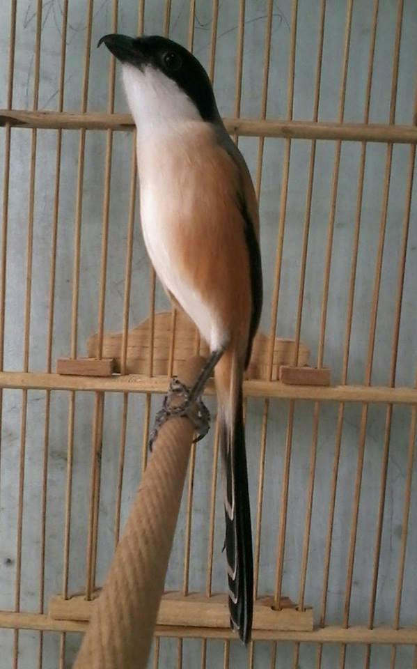 Hobi Burung Kicauan Cara Mengatasi Cendet Galak Dan Mbalon Over Birahi Dan Kurang Nutrisi