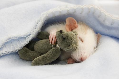 Imagenes de ratas blancas
