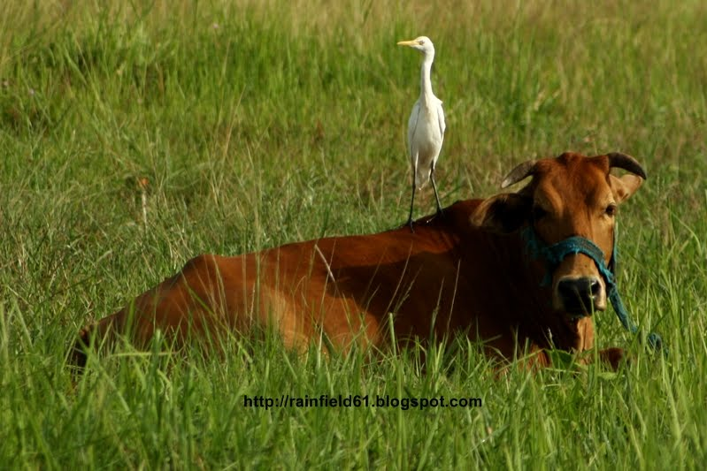 cattle egret and cow relationship