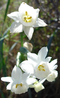 https://fr.wikipedia.org/wiki/Narcissus