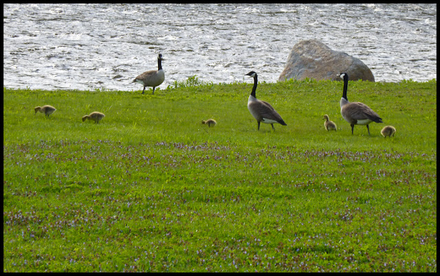 Goslings on the banks of the Wallkill River.