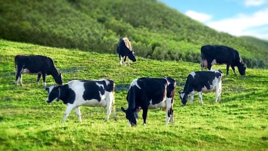 Hình ảnh Đàn Bò Sữa nông trại Dalat Milk