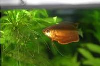 Gurami Thicklip, jenis ikan akuarium air tawar
