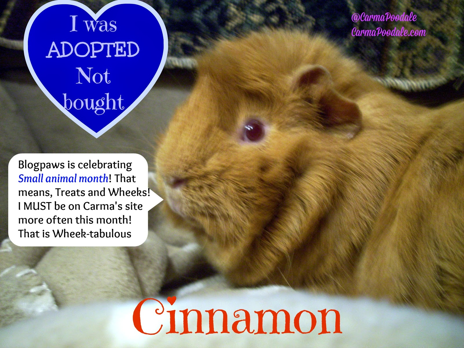 A Cinnamon colored Guinea Pig