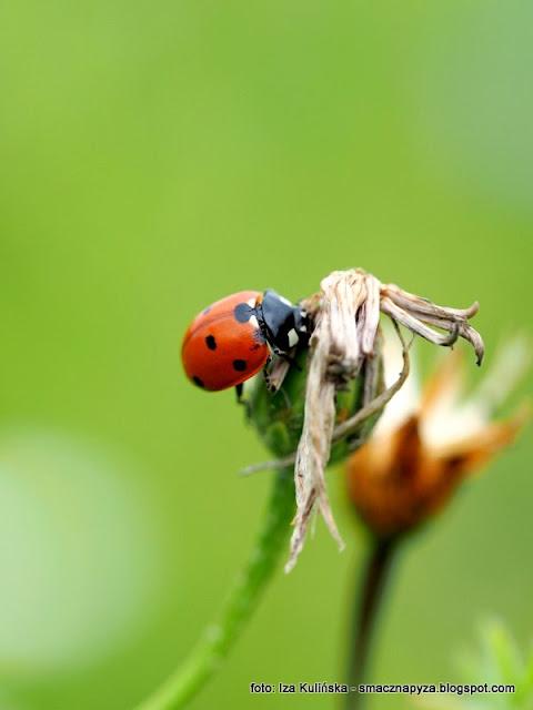 biedroneczka, boza krowka, owady, zyjatko, fauna, podlasie, laka, portret