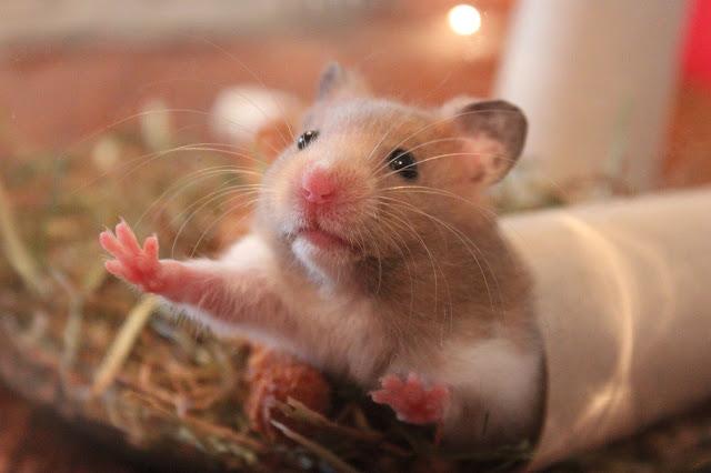 Seputar Hamster