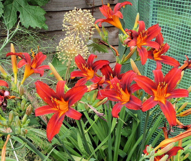 Day lilies (Hemerocallis spp)