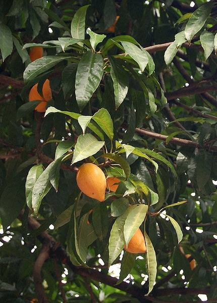 buah sawo  ubi di pohon