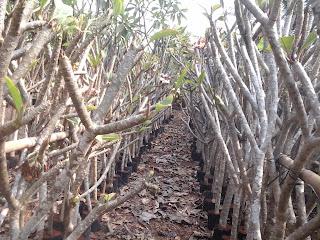 isu harga tumbuhan kamboja bali plumera rubra  Daftar Harga Tanaman Hias Kamboja Bali