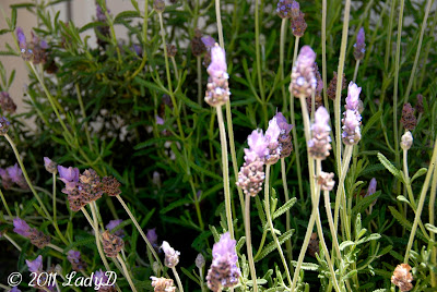 lavender growing in my yard: LadyD Books