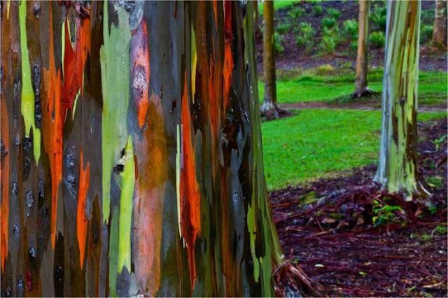 Embora pareça que eles são pintados ou feitos com um computador, essas árvores nativas do Havaí realmente existem