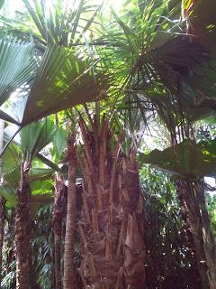 Tukang pohon palm ostralis murah