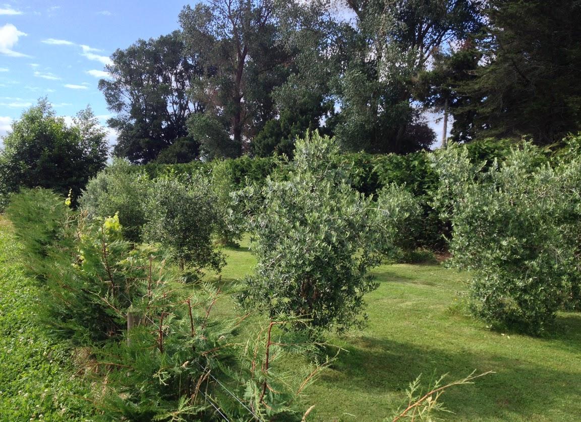 Willowbrook Park Olive Grove