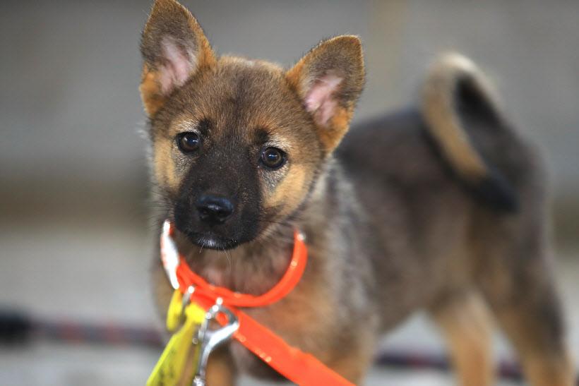 Jeju Dog For Sale