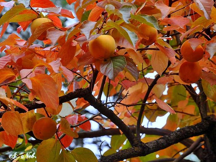 Ilclanmariapia cachi un frutto e un colore for Albero di cachi