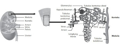 skema proses pembentukan urine