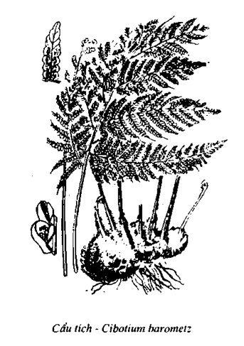 Hình vẽ Cẩu Tích - Cibotium harometz - Nguyên liệu làm thuốc Chữa Tê Thấp và Đau Nhức