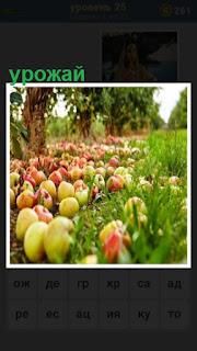 на зеленой траве лежат урожай спелых яблок