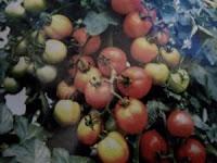 Tomat Permata F1-Gambar buah tomat