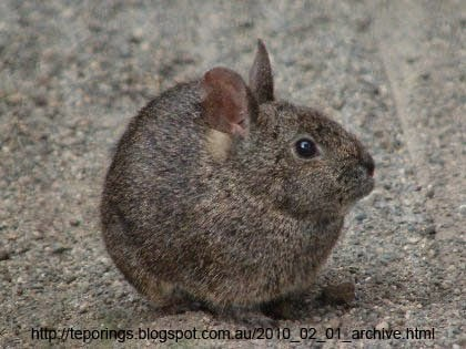 Bizarre Creature of the Day: Creature 187: Romerolagus diazi