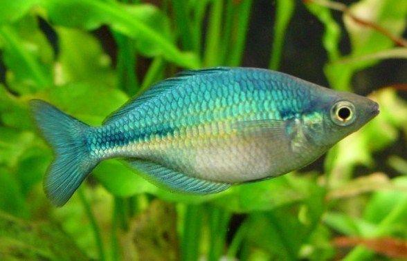 Budidaya Ikan Hias Rainbofish