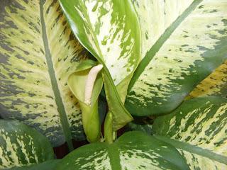 Dieffenbachia inflorita,