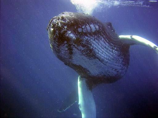 mp3 grito baleia colocar celular
