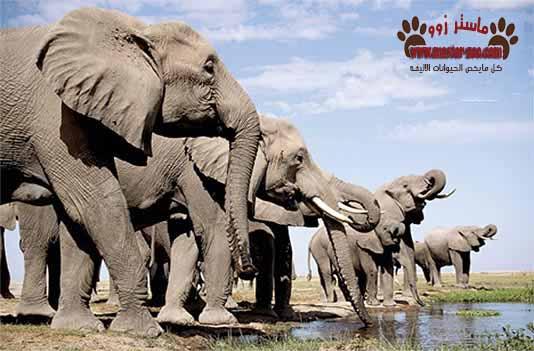 معلومه غريبه عن حياه الافيال elephant