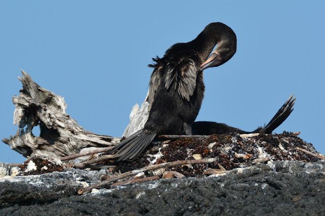 Cormorants nesting Galapagos