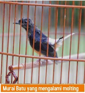Murai Batu Mabung Perlu Perhatian Lebih Cara Ternak Burung