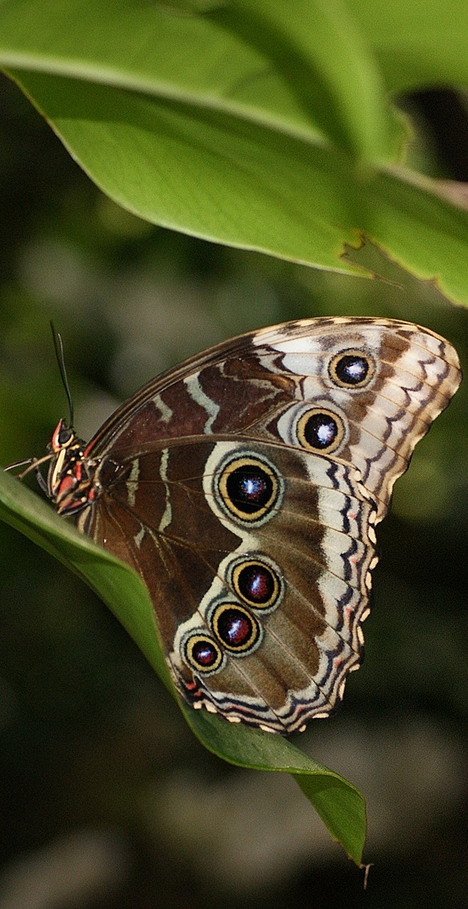 Photo of blue morpho butterfly.
