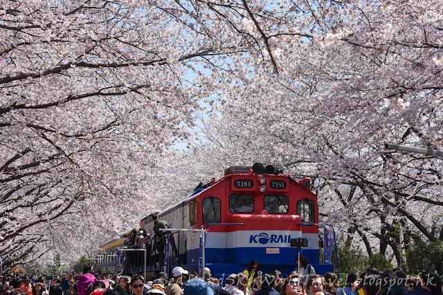 鎮海慶和站櫻花